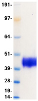 Human OX-2 protein from Expi293 cell