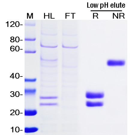 Expression and purification of Fab antibody