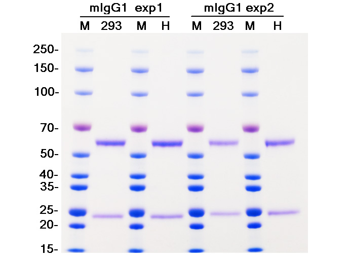Mouse IgG1 293 expressed vs hybridoma