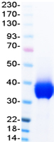 PD-L1 protein from Human 293 cells
