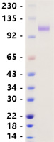 AXL protein from Human 293 cells