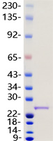 UCHL1 protein from Human 293 cells
