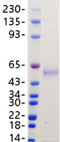 Recombinant SARS-CoV-2 Nucleocapsid Protein