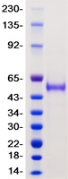 TMPRSS2 protein from Human 293 cells