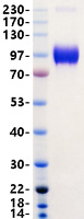 ACE2 protein from Human 293 cells